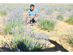 Seydişehir'de Lavanta hasadı başladı