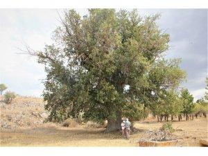 Seydişehir'de 600 yıllık pelit kuruyor