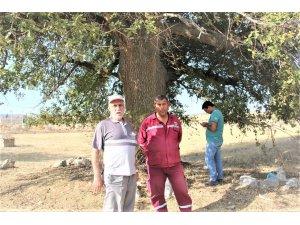 600 yıllık meşe palamudu ağacına tescil çalışması