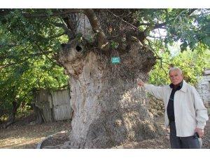 Tarihi meşe ağaçlarına sahip çıkmalıyız